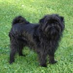 Affenpinscher: Everything you need to know about Affenpinscher