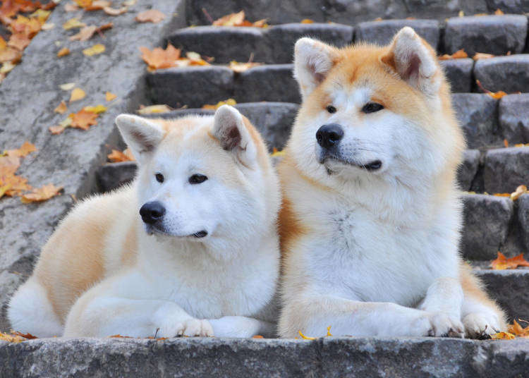 Akita Dog Pictures