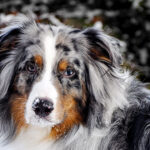 Australian Shepherds Dog