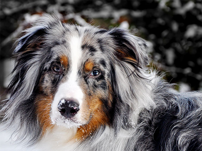 Australian Shepherds Dog
