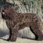 Cute Barbet Dog