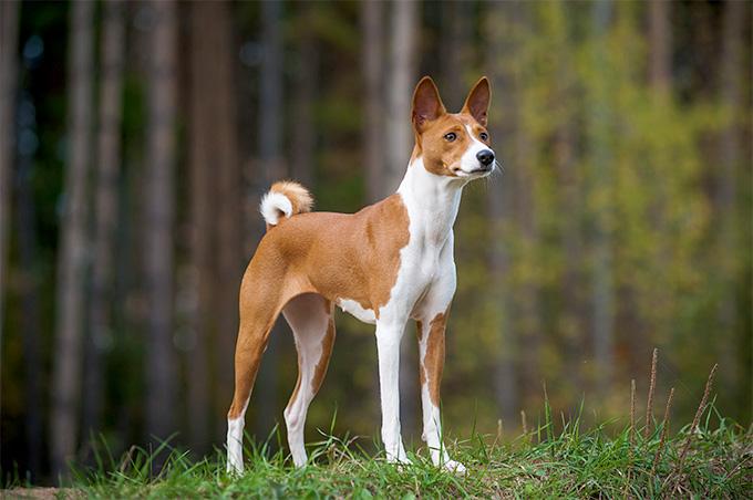 Basenji Dog Pictures
