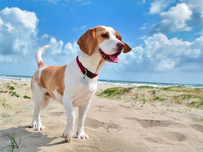 Beagle Dog Pictures