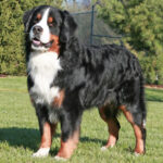 Bernese Mountain Dog Pictures
