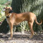 Black Mouth Cur Dog