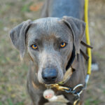 Blue Lacy Dog Pictures