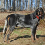 Bluetick Coonhound Dog