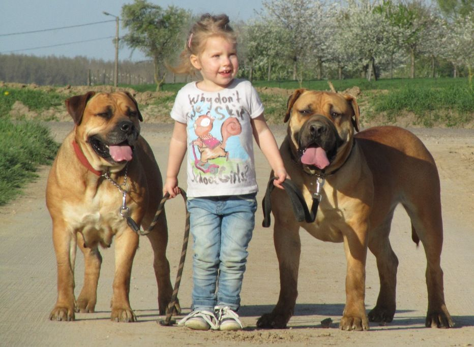 Boerboels Dog Pictures