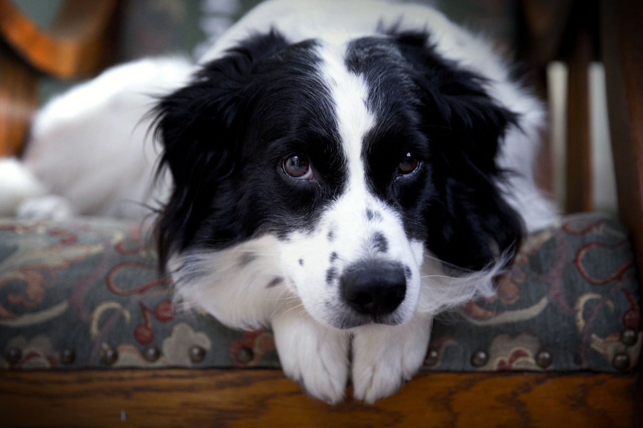 Border Collies Dog
