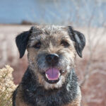 The Border Terrier Dog