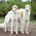 Borzoi Dog Pictures