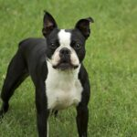 Boston Terriers Dog