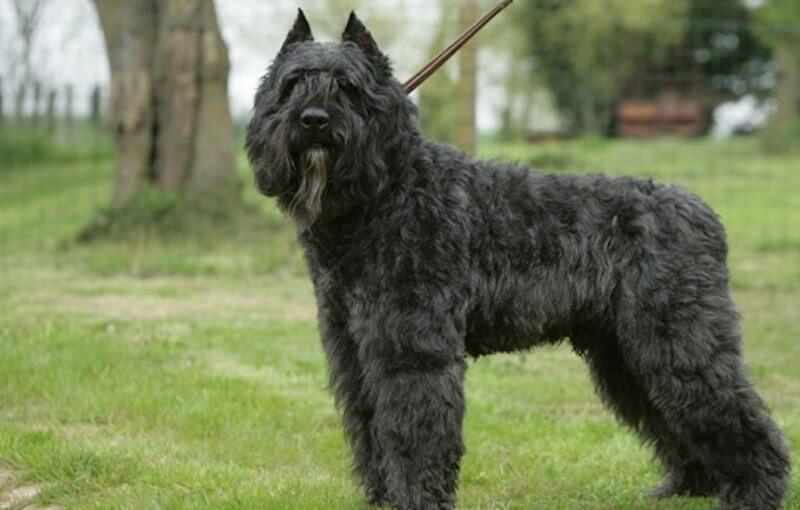Bouvier Des Flandres Dog