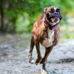 Boxer Dog Pictures