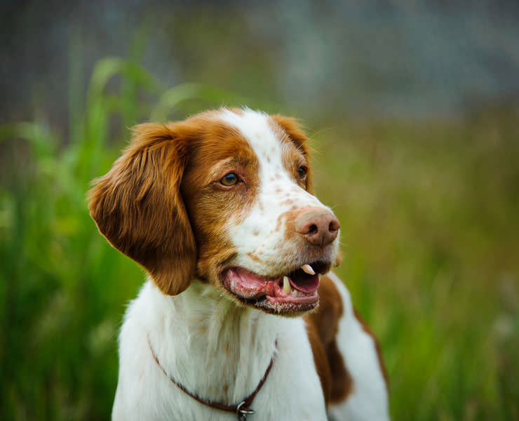Brittany Dog Pictures