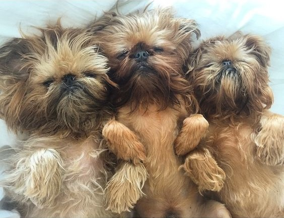 Cute And Adorable Brussels Griffon Dog