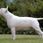 Is the bull terrier a good choice of pet?