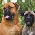 Bullmastiff Dog Pictures