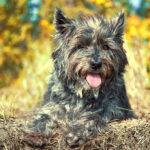 Cairn Terrier Dog Pictures