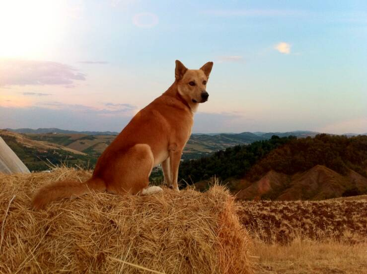 Canaan Dog Pictures