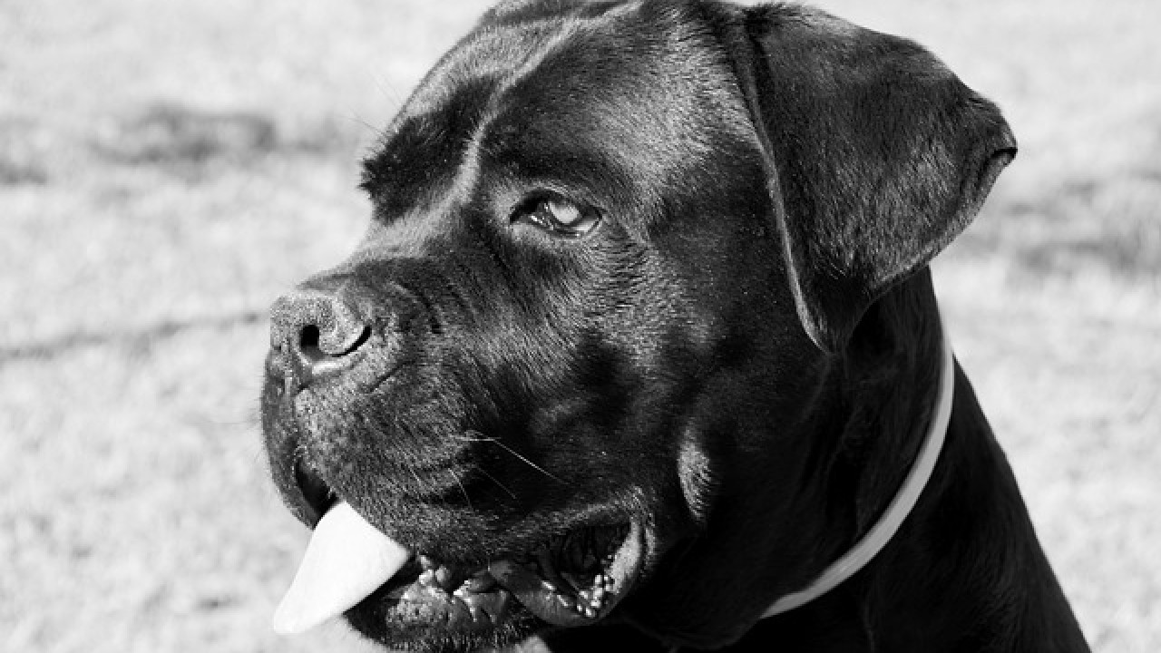 Everything You Need to Know Before Adopting a Cane Corso