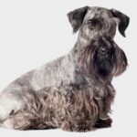 Cesky Terrier Dog Pictures