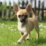 Chihuahua Dog Pictures