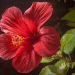 China Rose Pictures