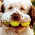 Clumber Spaniel Dog Pictures