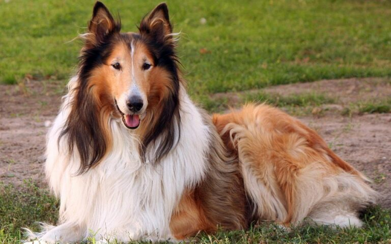 Collie Dog Pictures