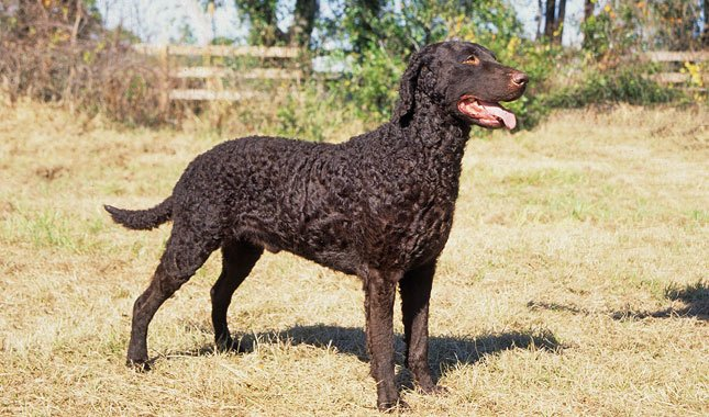 Curly-Coated Retriever Dog Breed – Facts and Traits