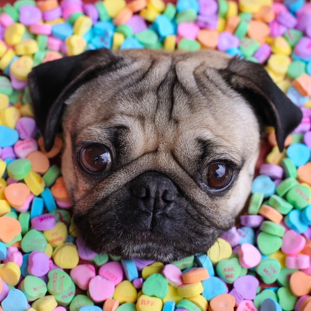 Photo Gallery Of Cute Pug Dog