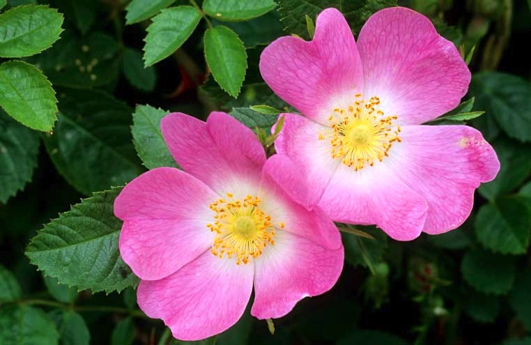 Dog Rose Pictures