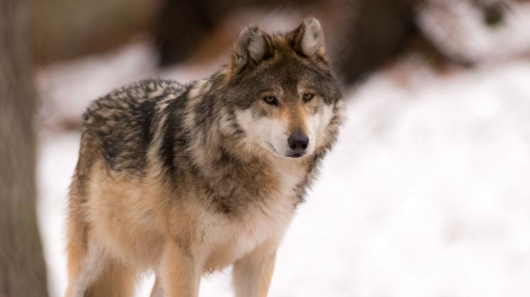 Exclusive Gray Wolf Pictures