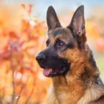 Cool Facts You Didn't Know About German Shepherds
