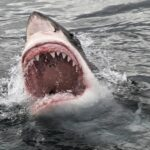 Great White Shark Pictures