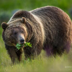 Grizzly Bear Pictures