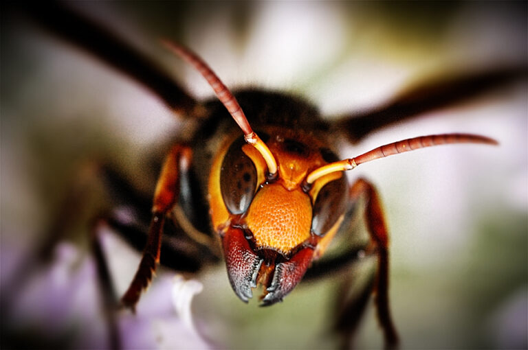 Japanese Giant Hornet Pictures