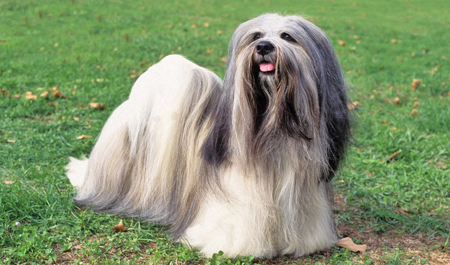 Cute And Adorable Lhasa Apso Dog