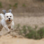 Maltese Shih Tzus Dog