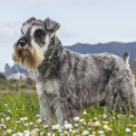 Miniature Schnauzer Dog Pictures