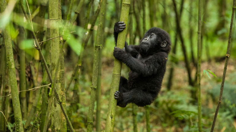 Mountain Gorilla Pictures