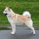 Norwegian Buhund Dog
