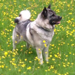 Norwegian Elkhounds Dog