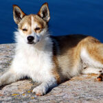 Norwegian Lundehund Dog