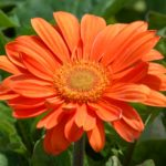 Beautiful Orange Flowers