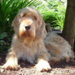 Otterhound Dog Pictures
