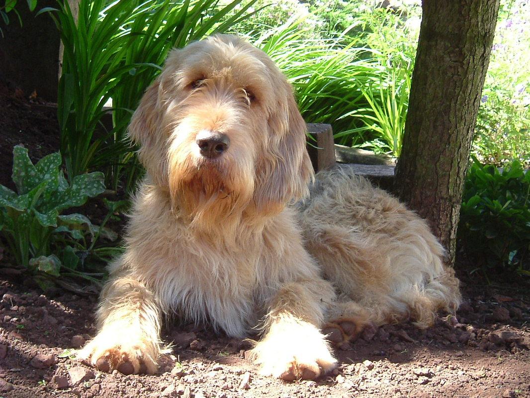 Otterhound Dog Pictures