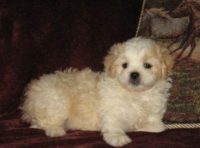Cute Peekapoo Dog Pictures