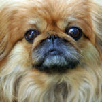 Cute And Adorable Pekingese Dog